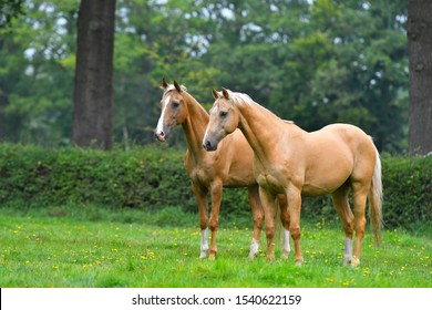 Two palomino akhal teke breed horses standing still in the park and watching.