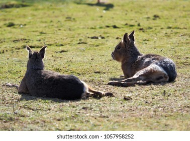 two pampas bunnies in a meadow enjoying the warming sun of spring