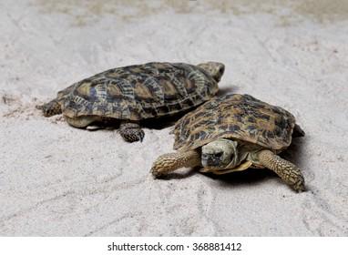 Two Pancake Tortoises / Malacochersus tornieri