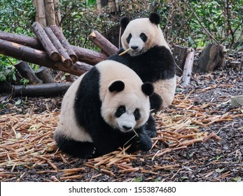 Two panda, one in front and the other in the back, casually eating bamboos on a pile of bamboos on the ground