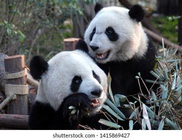 Fluffy Panda Images, Stock Photos & Vectors   Shutterstock