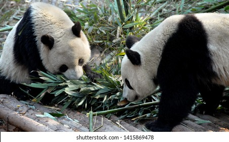 Two pandas at Chengdu Panda Reserve (Chengdu Research Base of Giant Panda Breeding) in Sichuan, China. The panda bears are eating bamboo. The pandas are facing each other. Subject: Pandas, Chengdu.