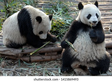 Two pandas at Chengdu Panda Reserve (Chengdu Research Base of Giant Panda Breeding) in Sichuan, China. The panda bears are eating bamboo. Showing the full body of both pandas. Subject: Pandas, Chengdu