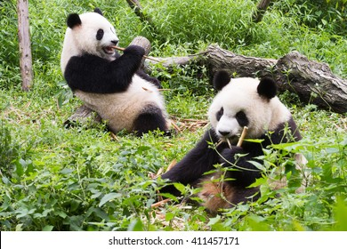 Two pandas has lunch, Giant Panda Breeding Research Base (Xiongmao Jidi), Chengdu, China