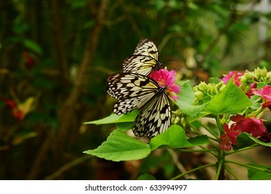 Two Paper Kite (Idea leuconoe) butterflies macro sitting on a pink flower cluster with green leafy background.