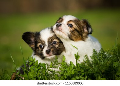 Two Papillon puppy dogs sitting together in green field