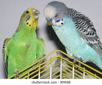 Two parakeets seating and talking on the top of the cage.