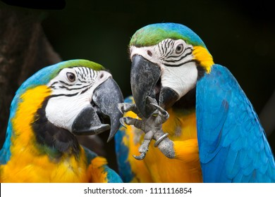 Two parrot yellow and blue feather mating with love kiss.