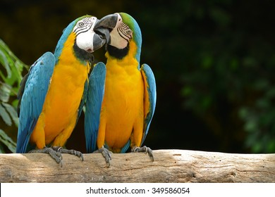 Two parrot yellow and blue feather mating with love kiss