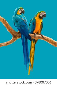 two parrots colorful isolated on blue background with path