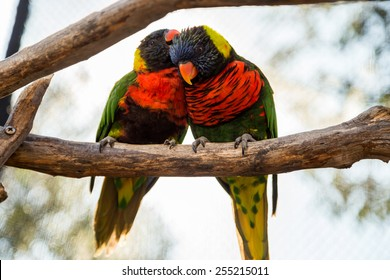 Two parrots or love birds in love kiss each other while perched on a tree.