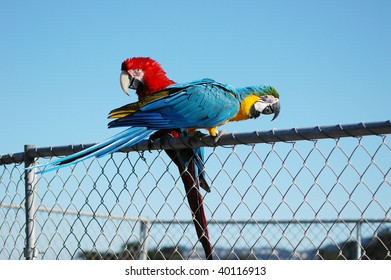 Two parrots on a fence