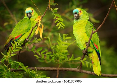 Two Parrots, Turquoise-fronted amazon, Amazona aestiva, portrait of green parrots, Costa Rica. Wildlife scene from tropic nature, Pantanal.
