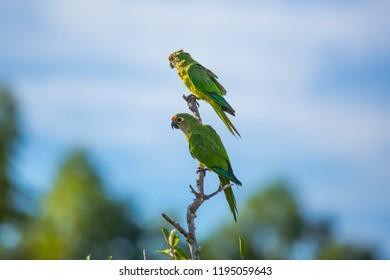 Two Parrots, Turquoise-fronted amazon, Amazona aestiva, portrait of green parrots
