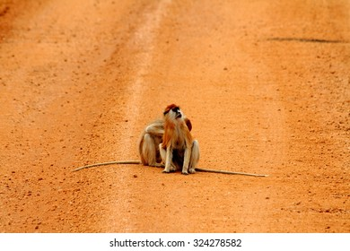 Two Patas monkeys, one being groomed by the other, in the middle of a red dirt road in Murchison Falls National Park in Uganda.