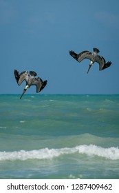 Two pelicans flying quickly down towards the sea surface, beatufil birdwatching in vacation in mexican Yucatan peninsula