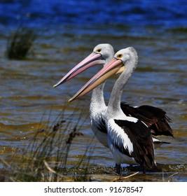 Two Pelicans near lake
