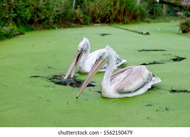 Two pelicans swimming on a duckweed infested river while fishing