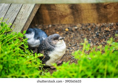 Two Penguin going from nest boxes on phillips island