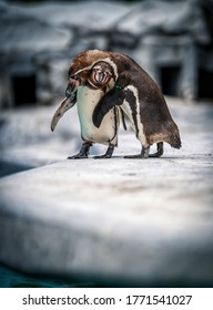 two penguins hug each other in the zoo.