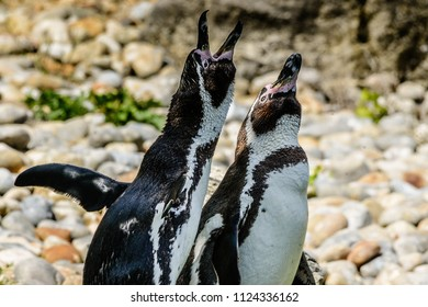 Two penguins stand together on rocks and look upwards, one with beak open as if chatting! Shallow depth of field and space for text.