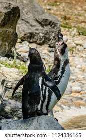 Two penguins stand together on a rock, one looking up, and a back view of the other.