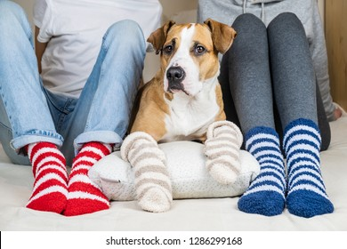Two people and their dog in colorful socks sitting on the bed in the bedroom. Staffordshire terrier and owners on the bed wearing similar colored socks, concept of a dog as a family member