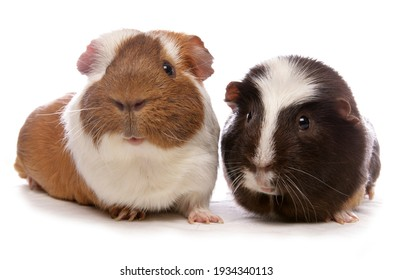 Two pet guinea pigs isolated on a white background
