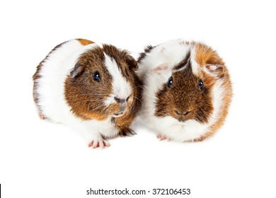 Two pet guinea pigs laying together on a white studio background