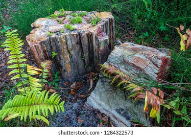Two petrified wood tree stumps in forest, fossilized tree