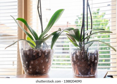 Two Phalaenopsis Orchid in transparent flower pot with substrate and green leaves at home and windows in background. Botanical and house flowers. Close up, blurred motion and selective focus