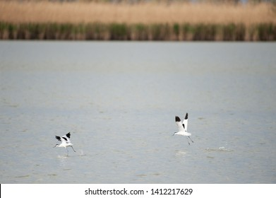 Two pied avocet - Recurvirostra avosetta- taking off from a lake in the Dutch Nature reserve Oostvaardersplassen