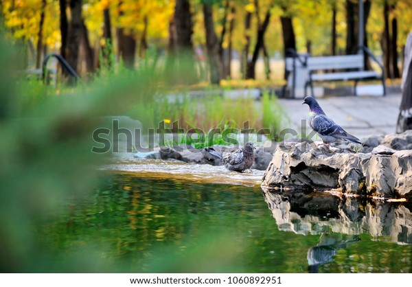 Two pigeons bathe and play in the fountain on a Sunny day. Portrait. Landscape view.