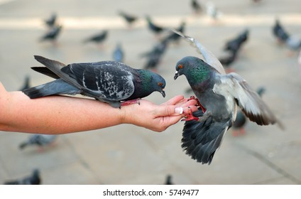 Two pigeons feeding and balancing on woman's hand in St. Mark's Square in Venice, Italy.