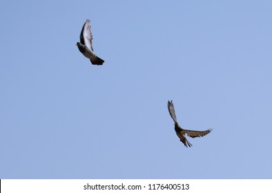 Two pigeons flying with blue sky background