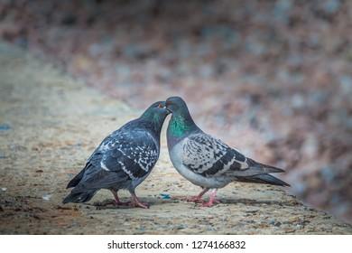 Two pigeons kissing on the pier. Crimea, Gurzuf