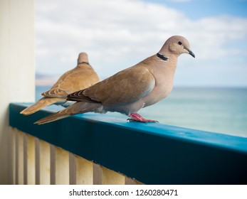Two pigeons looking at the sea from blue fence