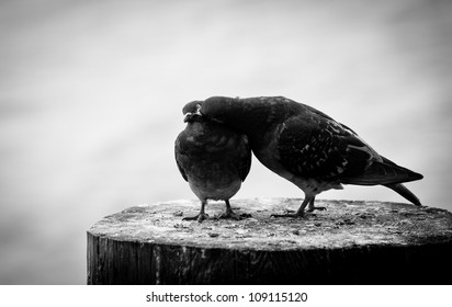 Two pigeons on a wood post show affection towards each other on the Seal Beach pier in black and white