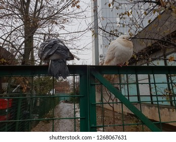 two pigeons sitting on a fence