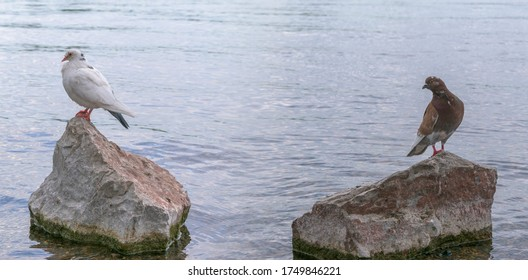 Two pigeons are sitting on rocky stones. Around the water. Brown and white color. Concept of relationship between male and female, love, jealousy, friendship.