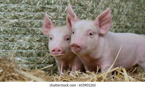 two piglet newborn standing on a straw in the farm. concept of biological , animal health , friendship , love of nature . vegan and vegetarian style . respect for animals.