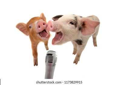 two piglet are singing into the microphone isolated on white background
