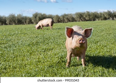 Two pigs grazing in field. Picture taken in Ciudad Real Province, Spain