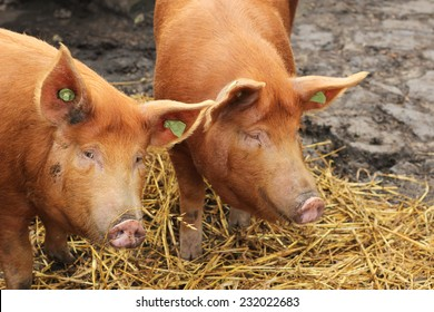 Two Pigs and Hay with one looking at camera