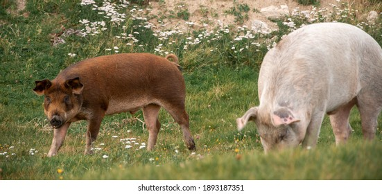 two pigs on a field of a farm