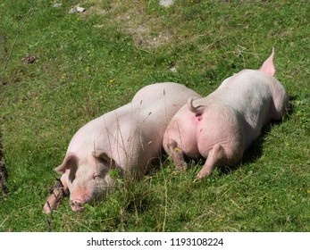 Two pigs on pasture