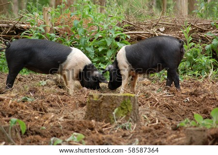 Two pigs rooting for food Two saddleback pigs rooting around in the undergrowth for food.  Pigs are sometimes used by foresters to clear the ground before planting new trees.