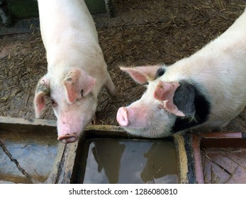two pigs in a stye beside a drinking trough close up