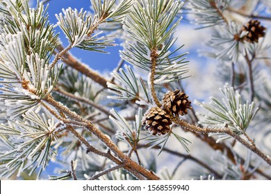 Two pine cones on a frosted branch. Season: Winter 2019. Location: Western Siberia.