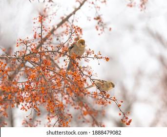 Two Pine Grosbeaks in crabapple tree
